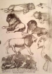 drawings of lions